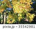 秋 葉 黄葉の写真 35542981