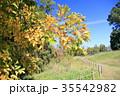 秋 黄葉 エノキの写真 35542982