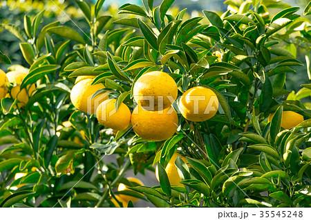 みかんの一種 柑橘系の果物 ※種類はよくわかりません イメージとしてお使いください 35545248