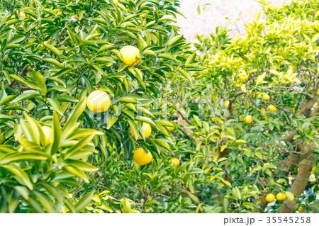 みかんの一種 柑橘系の果物 ※種類はよくわかりません イメージとしてお使いください 35545258
