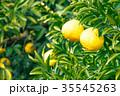 みかんの一種 柑橘系の果物 ※種類はよくわかりません イメージとしてお使いください 35545263
