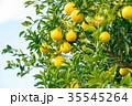 蜜柑 果物 柑橘類の写真 35545264