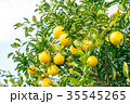 蜜柑 果物 柑橘類の写真 35545265