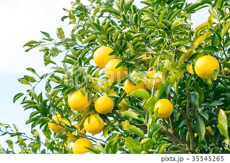 みかんの一種 柑橘系の果物 ※種類はよくわかりません イメージとしてお使いください 35545265