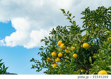 みかんの一種 柑橘系の果物 ※種類はよくわかりません イメージとしてお使いください 35545269