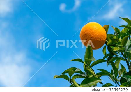 みかんの一種 柑橘系の果物 ※種類はよくわかりません イメージとしてお使いください 35545270