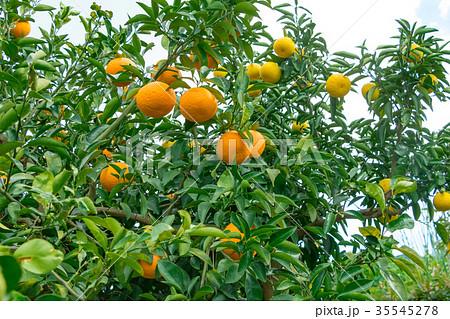 みかんの一種 柑橘系の果物 ※種類はよくわかりません イメージとしてお使いください 35545278