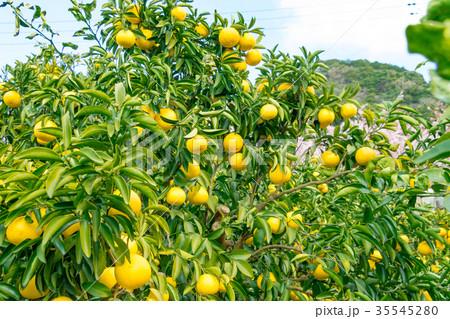 みかんの一種 柑橘系の果物 ※種類はよくわかりません イメージとしてお使いください 35545280