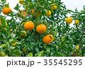 みかんの一種 柑橘系の果物 ※種類はよくわかりません イメージとしてお使いください 35545295