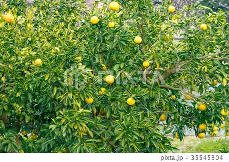 みかんの一種 柑橘系の果物 ※種類はよくわかりません イメージとしてお使いください 35545304