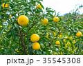 みかんの一種 柑橘系の果物 ※種類はよくわかりません イメージとしてお使いください 35545308