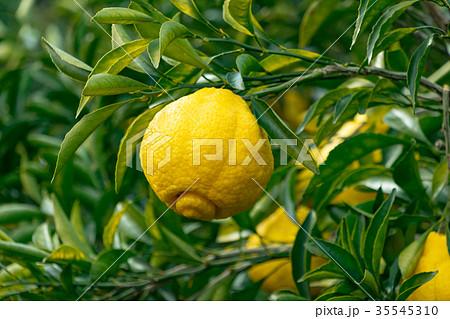 みかんの一種 柑橘系の果物 ※種類はよくわかりません イメージとしてお使いください 35545310