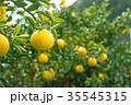 みかんの一種 柑橘系の果物 ※種類はよくわかりません イメージとしてお使いください 35545315