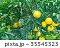 みかんの一種 柑橘系の果物 ※種類はよくわかりません イメージとしてお使いください 35545323