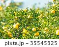 蜜柑 果物 柑橘類の写真 35545325