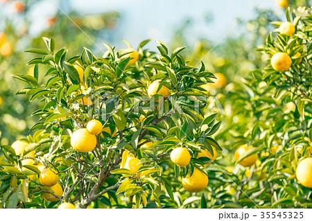 みかんの一種 柑橘系の果物 ※種類はよくわかりません イメージとしてお使いください 35545325