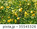 みかんの一種 柑橘系の果物 ※種類はよくわかりません イメージとしてお使いください 35545326