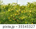 みかんの一種 柑橘系の果物 ※種類はよくわかりません イメージとしてお使いください 35545327