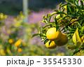 みかんの一種 柑橘系の果物 ※種類はよくわかりません イメージとしてお使いください 35545330