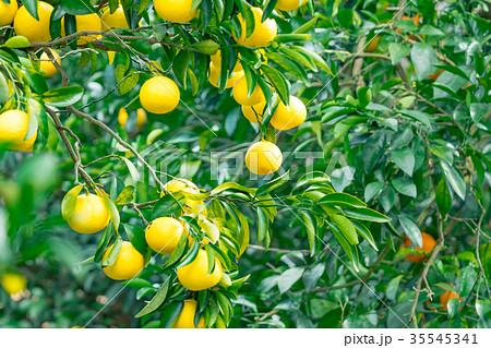 みかんの一種 柑橘系の果物 ※種類はよくわかりません イメージとしてお使いください 35545341