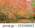 秋 紅葉 森林の写真 35546663