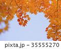 紅葉 エゾオオモミジ 楓の写真 35555270