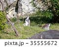 ワオキツネザル キツネザル 猿の写真 35555672
