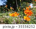 花 秋桜 キク科の写真 35556252