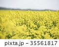 菜の花 菜の花畑 花の写真 35561817