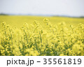 菜の花 菜の花畑 花の写真 35561819