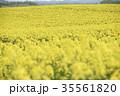 菜の花 菜の花畑 春の写真 35561820