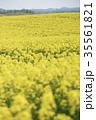 菜の花 菜の花畑 春の写真 35561821