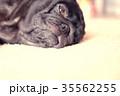 パグ 35562255