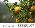 柚子の果実 35565157
