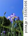 菖蒲 花菖蒲 花の写真 35565406