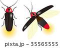 ゲンジボタル 35565555