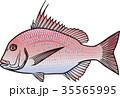 魚 海水魚 魚類のイラスト 35565995