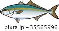 魚 魚類 ベクターのイラスト 35565996