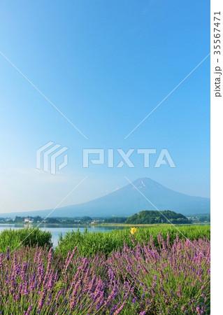 富士山とラベンダー畑 35567471