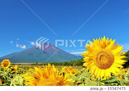 富士山と夏のひまわり 35567475