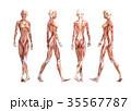 筋肉 解剖 仕組みのイラスト 35567787