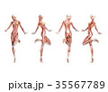 筋肉 解剖 仕組みのイラスト 35567789