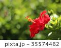 ハイビスカス 花 赤色の写真 35574462