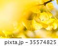いちょう 銀杏 黄葉の写真 35574825