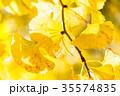 黄金のイチョウ 35574835