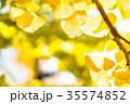 いちょう 銀杏 黄葉の写真 35574852