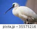 徳山動物園 野鳥観察所 クロツラヘラサギ 35575216