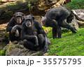 類人猿 チンパンジー さるの写真 35575795