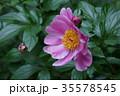 芍薬 シャクヤク 花の写真 35578545