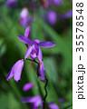 紫蘭 シラン 蘭の写真 35578548